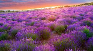 Незабываемые закаты в Тихани- цветет лаванда